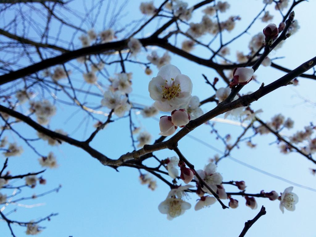 White cherry blossoms budding on branches against a cerulean blue sky.