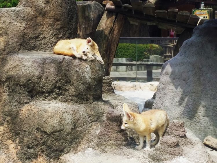A sleeping fennec fox curled on top of a rock and another fennec fox standing below.