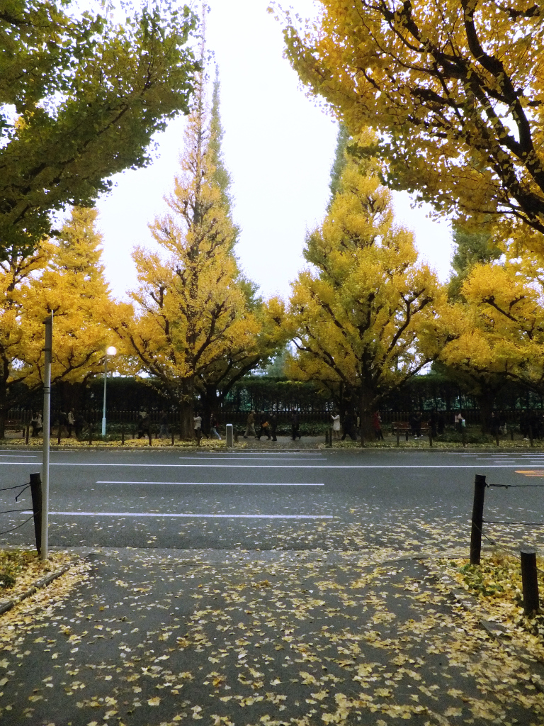 A row of gingko trees with golden leaves scattered on the road.