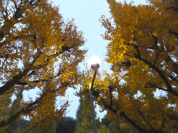 A shining street lamp casting a golden halo on the gingko leaves.