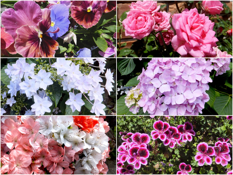 A collage of six different types of flowers, ranging from roses to hydrangeas to pansies.