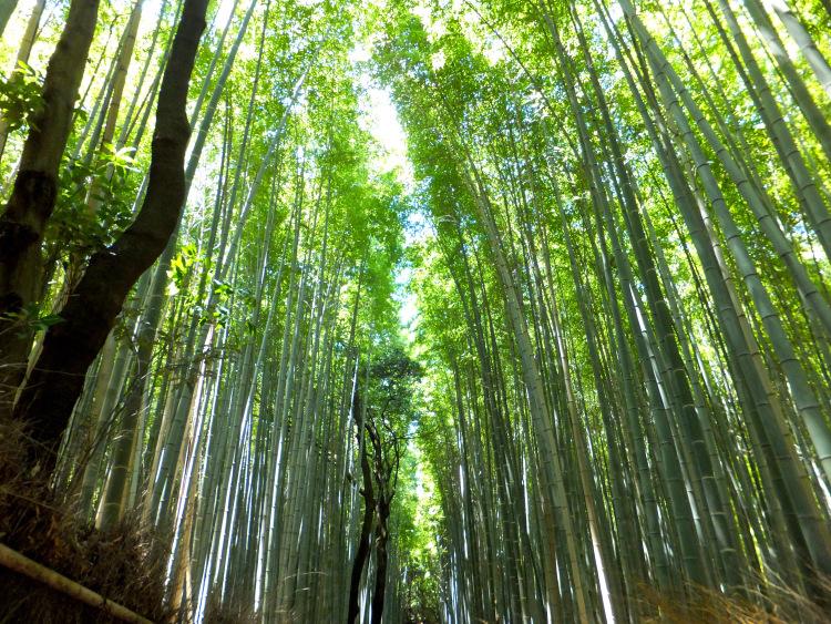 Green bamboo groves.