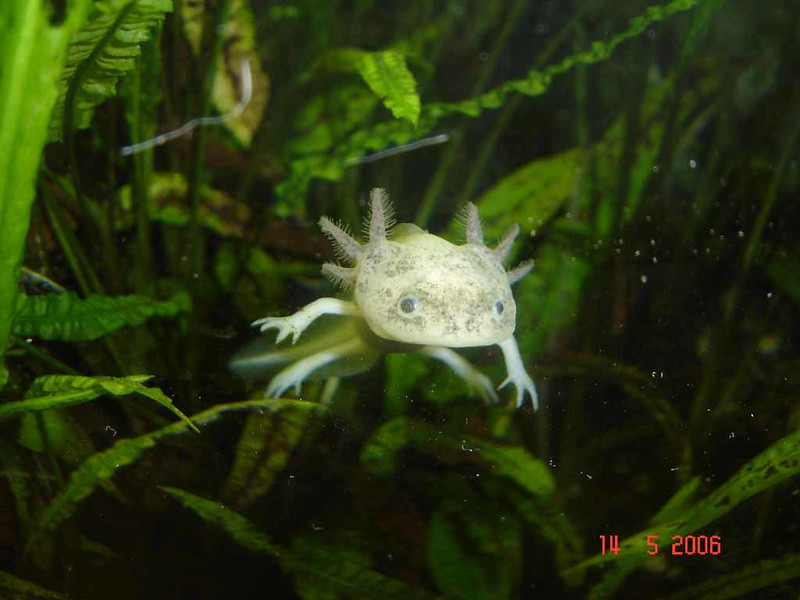 Freckled leucistic axolotl swimming in a tank.